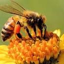 150918api-fiori-miele
