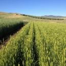 grano e paesaggio