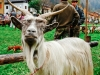 fiera-capre-branzi11